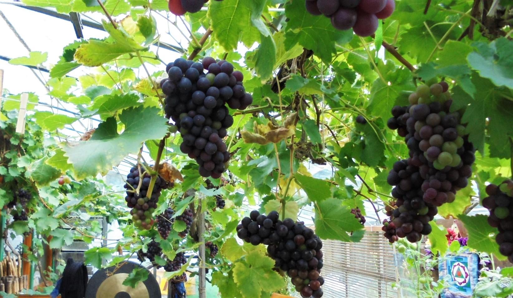 grapes pic (2)